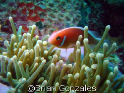 Image from Truk. Anemone Fish. by Brian Gonzales 